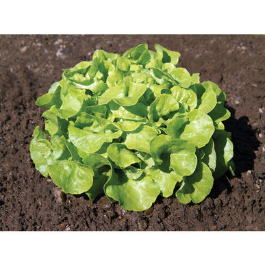 Panisse lettuce. Photo Johnnys Seeds