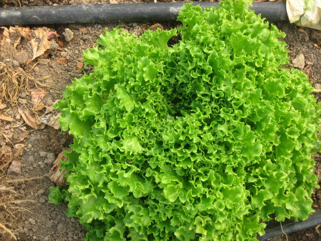 Tango lettuce Photo Kathryn Simmons