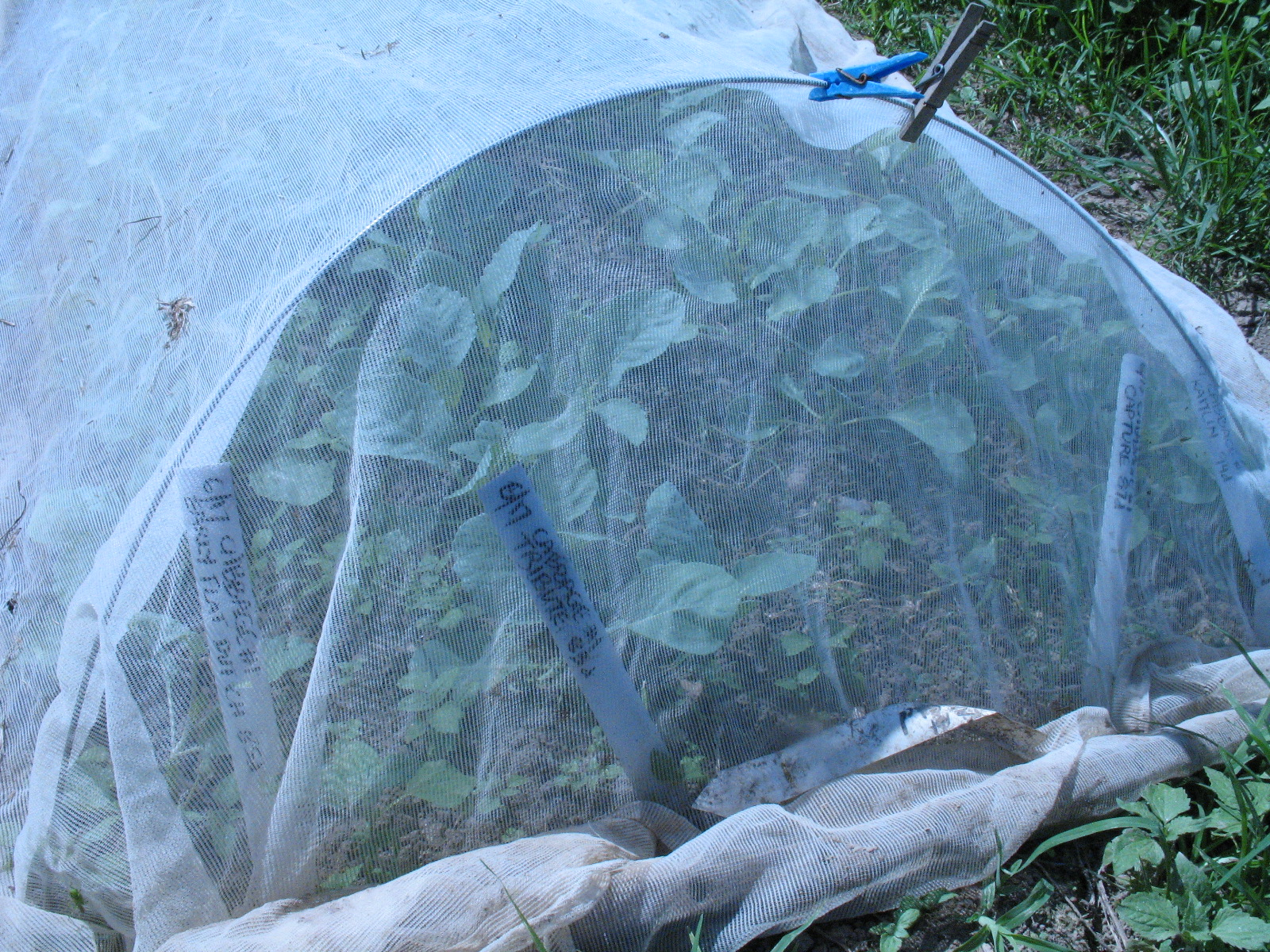 Brassica seedbed protected from insects with ProtekNet and hoops. Photo Bridget Alsehsire