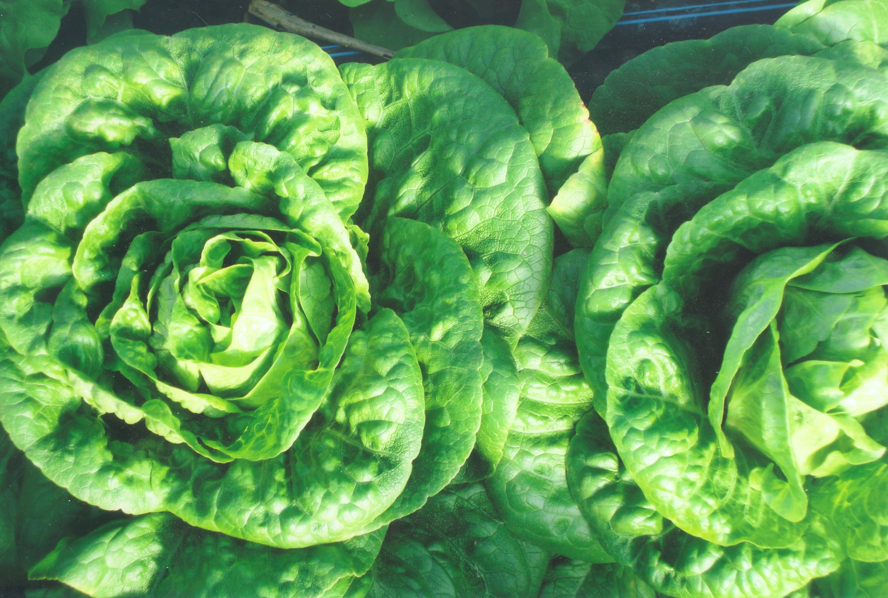 Buttercrunch bibb lettuce. Photo Kathleen Slattery