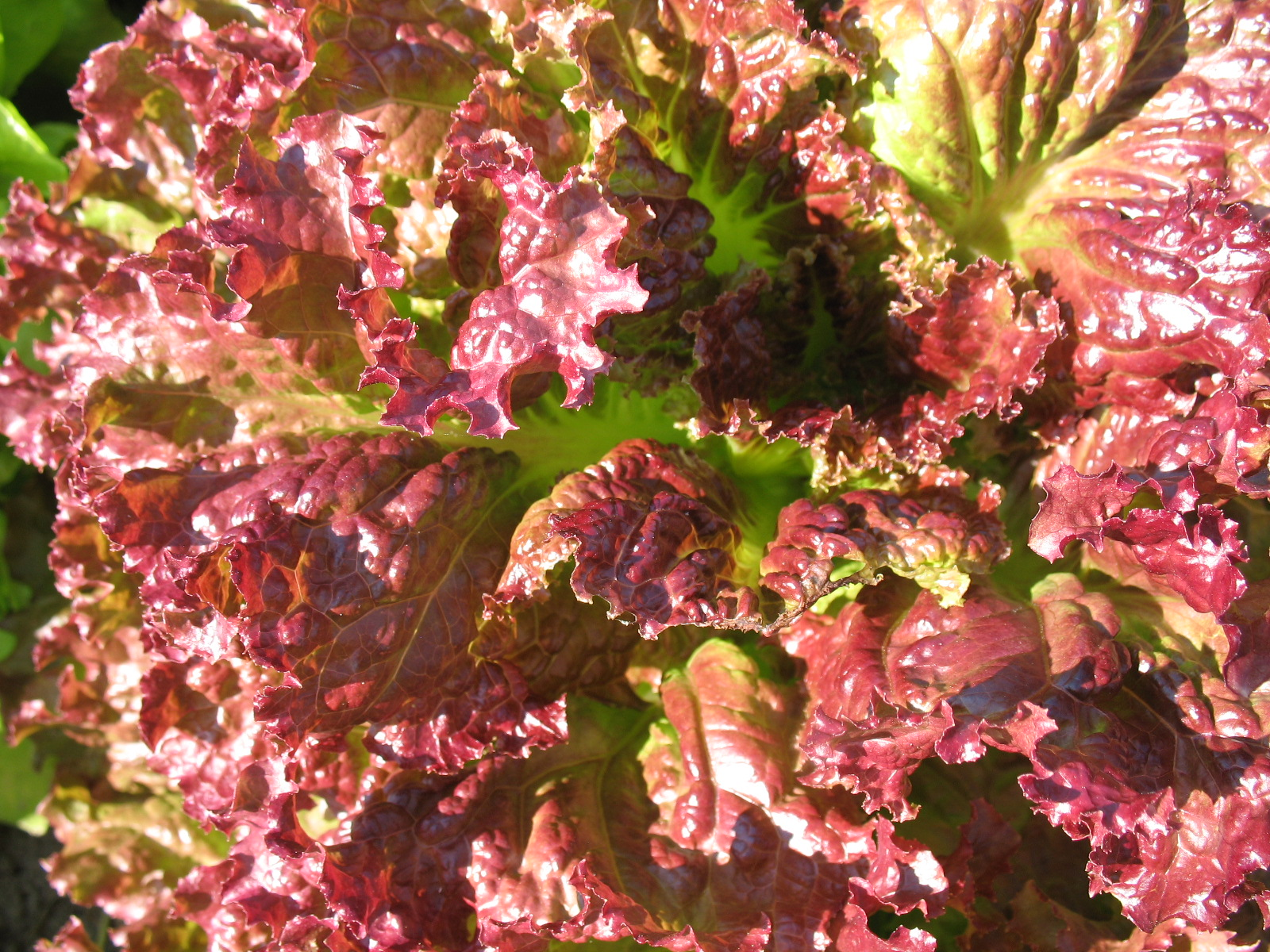 New Red Fire lettuce. Photo by Bridget Aleshire