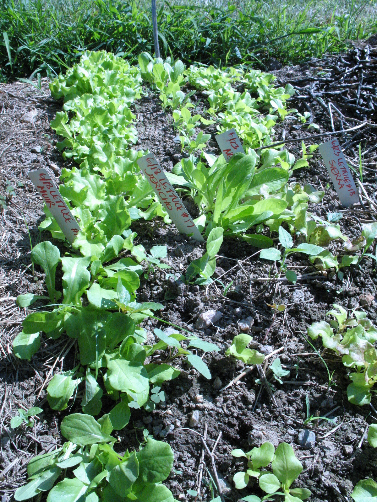 Lettuce seed bed, with Muir, Jericho, Sierra lettuces. Photo Bridget Aleshire