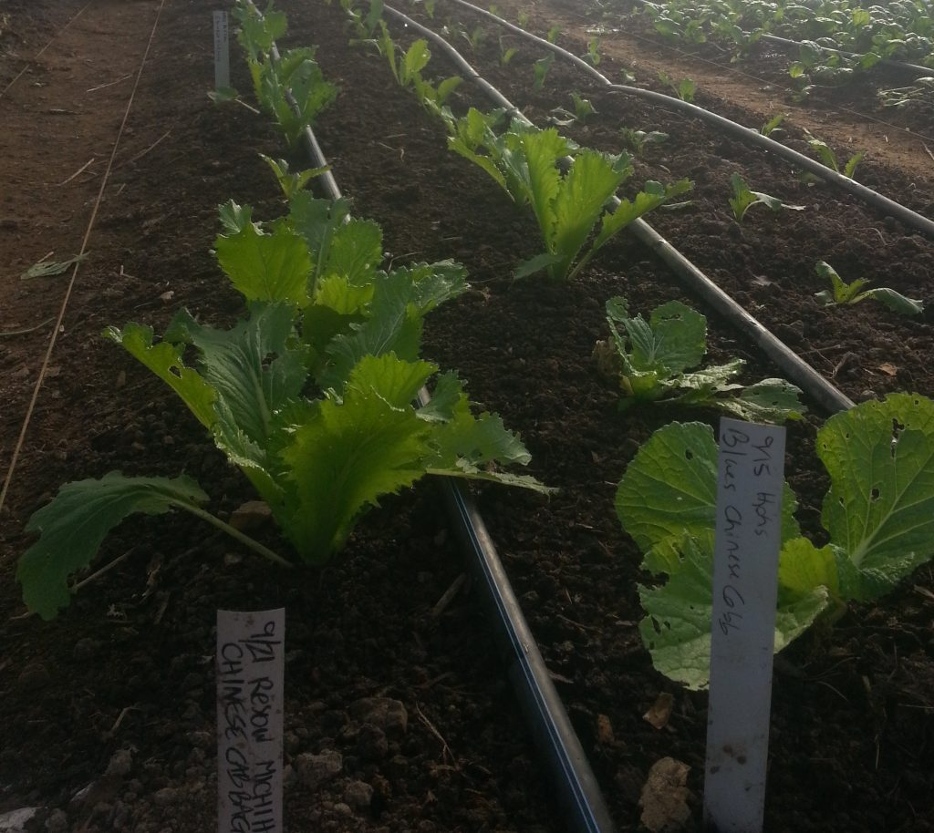 Asian Greens For January Chinese Cabbage Sustainable Market Farming