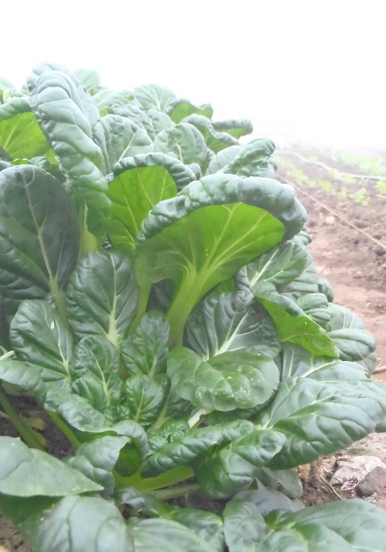 Asian Green For February Tatsoi Sustainable Market Farming