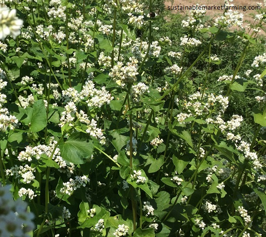 Cover Crops in Summer
